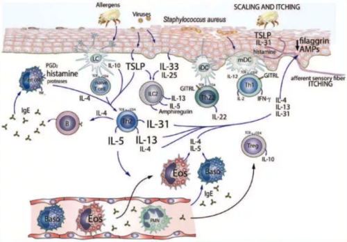 "Ref.: Allergy. ""Immunopathogenesis of atopic dermatitis"". European journal of allergy and clinical immunology. Volume 70. Number 8. August 2015. Frontpage. Wiley Blackwell."