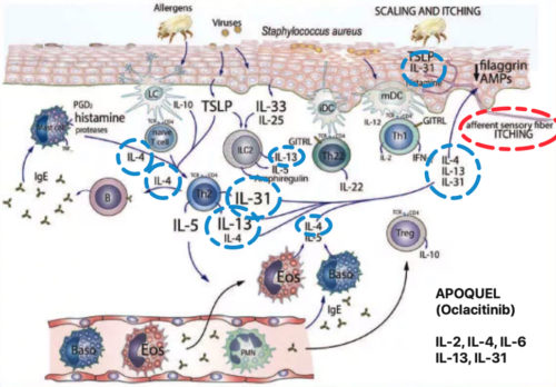"Ref.: Allergy. ""Immunopathogenesis of atopic dermatitis"". European journal of allergy and clinical immunology. Volume 70. Number 8. August 2015. Frontpage. Wiley Blackwell. Modified photo: Apoquel (Oclacitinib). IL-2, IL-4, Il-6, IL-13, IL-31."