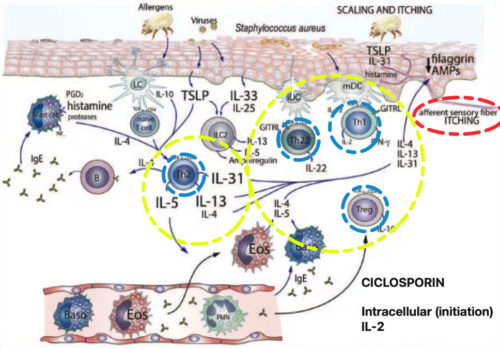 "Ref.: Allergy. ""Immunopathogenesis of atopic dermatitis"". European journal of allergy and clinical immunology. Volume 70. Number 8. August 2015. Frontpage. Wiley Blackwell. Modified photo: Ciclosporin. Intracellular (initiation), IL-2."